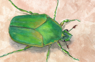Amber Chiozza - Western Green Flower Beetle. Watercolor. 2016.