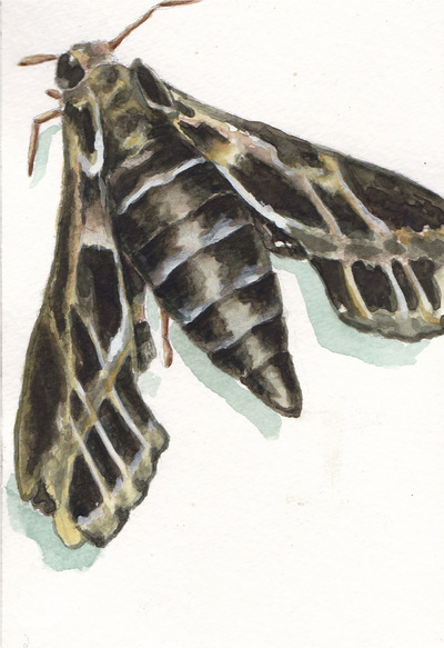 Amber Chiozza - Vine Sphinx Moth. Watercolor. 2016.
