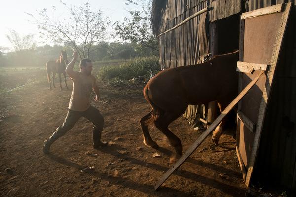 Alexis Aubin - Rafael prépare ses chevaux à laube, pour une randonnée touristique à Vinales, patrimoine de lUNESCO.