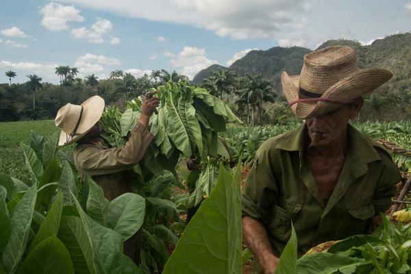 Alexis Aubin - Le tabac est la principale production agricole cubaine et le produit le plus exporté. Les paysans doivent vendre 90% de leur récolte annuelle au gouvernement.