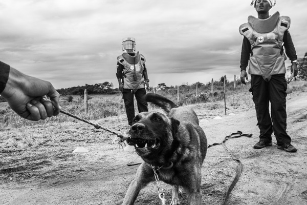 Alexis Aubin - A demining dog plays with a dog holder during a training. Their sense of smell makes it possible to check hundreds of square meters per day while a deminer can make from 3 to 6 meters in a shift. Vista Hermosa, Meta, Colombia - July 8th 2017