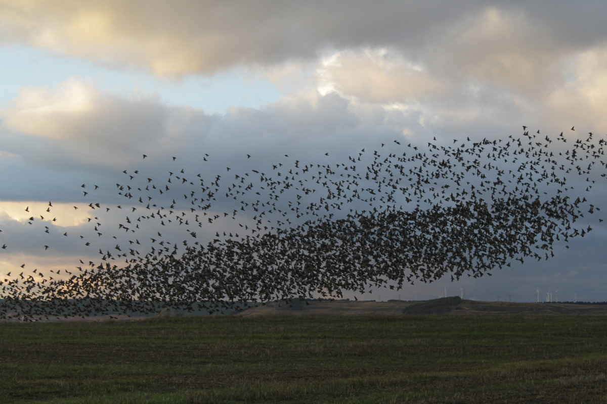 Gayil Nalls and The Massing Lab - Flock of starlings in Burgos. By Mario Modesto Mata