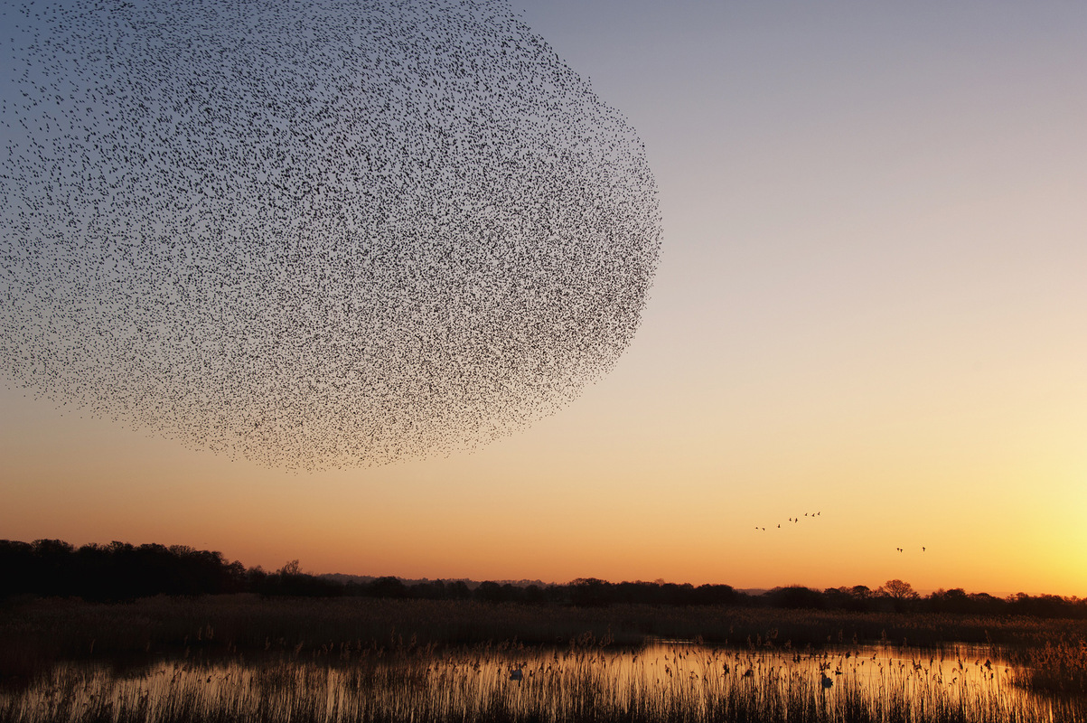 Gayil Nalls and The Massing Lab - A flock of starlings. By Wolstenholme Images
