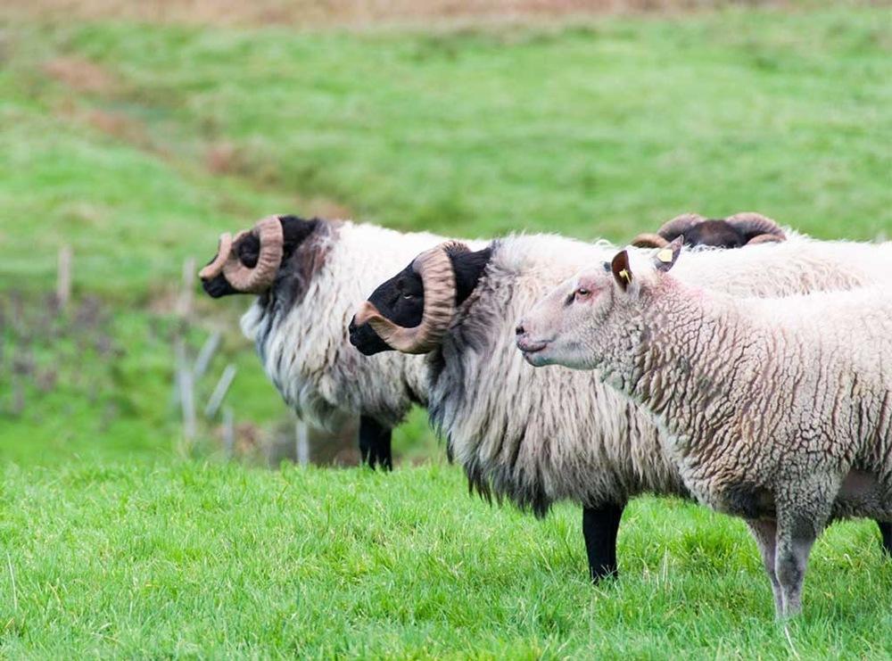 Pip Shepley - Sheep, Westport