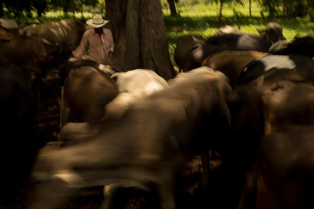 Adrienne Surprenant - Le prix de déplacement des bovins risque de forcer de nombreuses familles sur la route du canal à sen débarasser à bas prix.