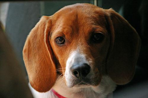 beagle info beagle box