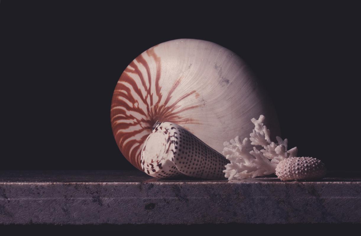 Still Life by Rachel Slepekis - Nautilus Shell