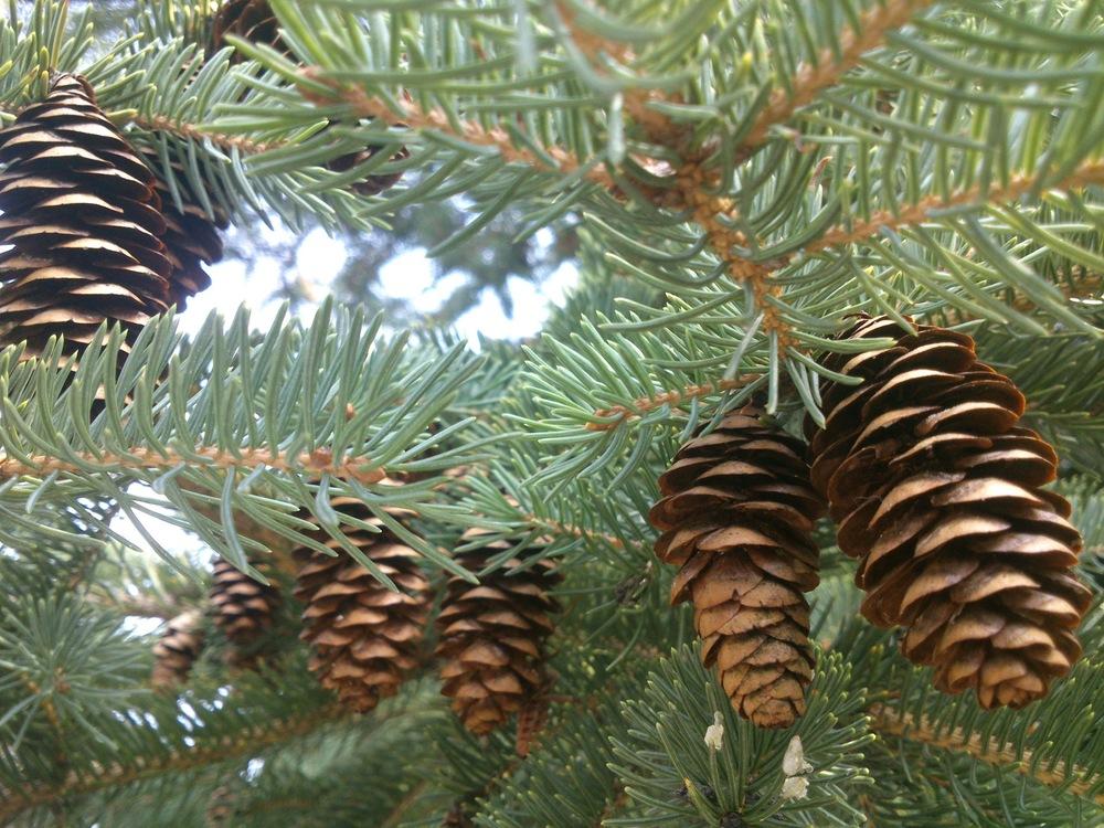 Design&Art - Pine