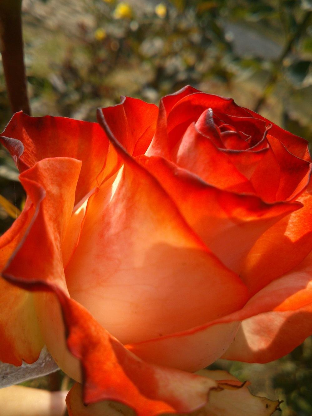 Design&Art - rose