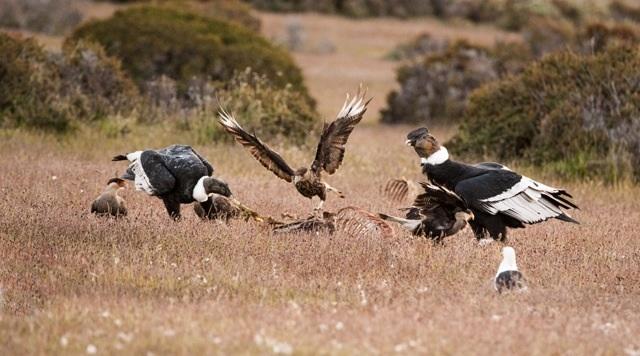 photosbyannika - Kondorer, södra Chile